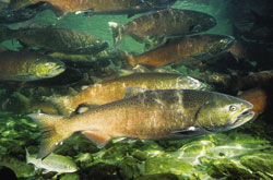 Chinook Salmon swimming in a stream