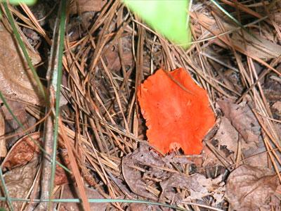 orange colored mushroom