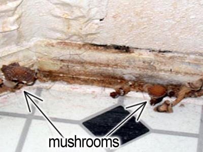 Mushrooms growing at the base of and behind the baseboard below a water leak in a bathroom.