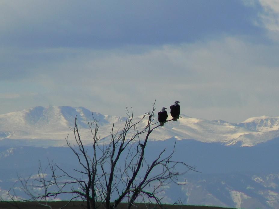 A pair of bald eagles roosting